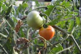 Tomatoes!