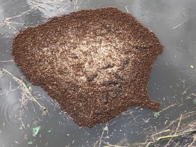 Floating nest of Fire Ants!